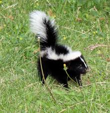 skunk humor, memories
